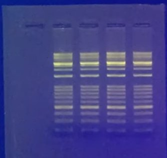 Electrophoresis gel with fluorescing dye illuminating bands. Photo courtesy of Accuris by Benchmark Scientific