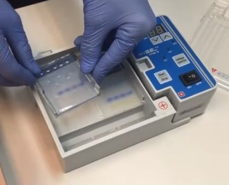 Horizontal gel electrophoresis; gel being removed after sample run. Photo courtesy of Accuris by Benchmark Scientific